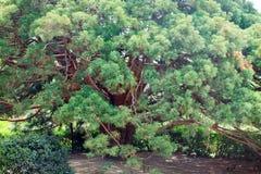 Unverwüstlicher roter Baum   Lizenzfreies Stockbild