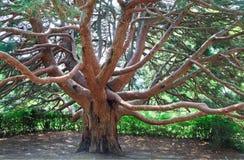 Unverwüstlicher roter Baum   Lizenzfreie Stockfotografie