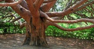 Unverwüstlicher roter Baum (Krim, Ukraine) Stockfotografie