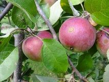 Unvollständige Äpfel Stockbild
