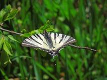 Unvollständiger Schmetterling Lizenzfreie Stockfotografie