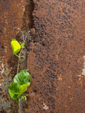 Unwanted Flora on The Old Rusty. Metal Sheet Royalty Free Stock Image