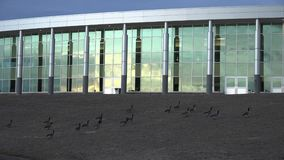 Unwanted Geese Invading. Panoramic view with modern buildings and unwanted geese invading the lawn stock video