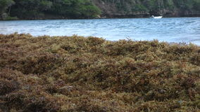 Unwanted sargassum in the windward island stock video