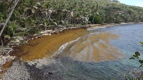 Unwanted sargassum in the windward islands stock video