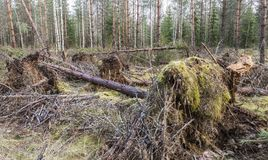Unwanted storm visited in the young pine forest. Storm did get the name Kiira Royalty Free Stock Images