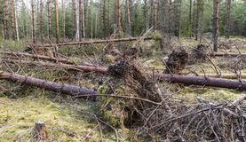 Unwanted storm visited in the young pine forest. Storm did get the name Kiira Royalty Free Stock Photography