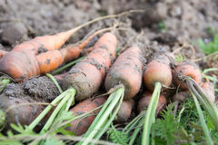 Unwashed Carrot in Field Stock Images