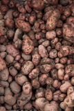 Unwashed, earthy potato fresh from the harvest Stock Image