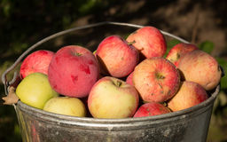 Unwashed non plastic apples in the pail. Unwashed non plastic red and green apples in the pail royalty free stock photography