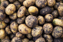 Unwashed potatoes Royalty Free Stock Photography