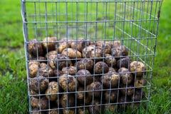 Unwashed potatoes Royalty Free Stock Image