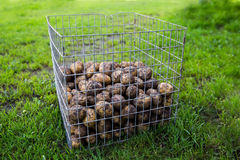 Unwashed potatoes Royalty Free Stock Images