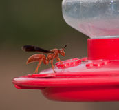 Unwelcome guest at Hummingbird feeder Stock Photography