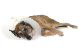 Unwell belgian shepherd. In front of white background Royalty Free Stock Image