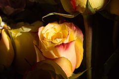 Unwrapped yellow rose on the black background Stock Images