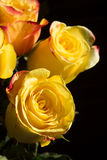 Unwrapped yellow rose on the black background Royalty Free Stock Images