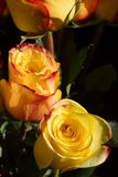 Unwrapped yellow rose on the black background Royalty Free Stock Photo