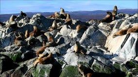 Unzählbare Robben, die auf der Dichtungs-Insel des Spürhundkanals, Ushuaia, Tierra del Fuego, Argentinien ein Sonnenbad nehmen stock video footage