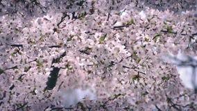 Unzählige Kirschblüten in der leichten Brise stock video