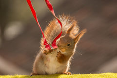 Unzip the zip. Close up of  red squirrel  holding a red zipper with peanut in mouth Stock Image
