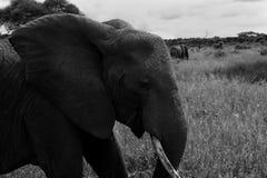 Uo de fin d'éléphant du côté images libres de droits