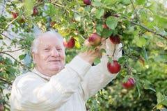 Uomini anziani con le mele rosse in frutteto fotografie stock libere da diritti