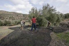 Uomini che abbattono le olive da di olivo fotografie stock libere da diritti