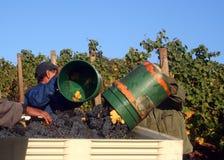 Uomini che fanno uscire le benne dell'uva Immagini Stock