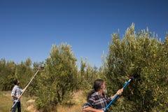 Uomini che per mezzo dello strumento verde oliva di raccolto mentre raccogliendo Immagine Stock