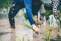 Uomini che sono riso delle piantine del riso del trapianto in Tailandia Fotografia Stock Libera da Diritti