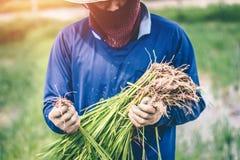 Uomini che sono riso delle piantine del riso del trapianto in Tailandia Immagini Stock