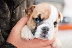 Uomini che tengono un cucciolo inglese del bulldog Immagini Stock Libere da Diritti
