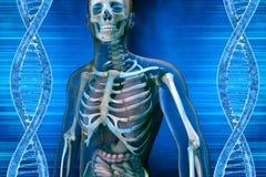 Uomini della molecola e di anatomia del DNA Fotografia Stock