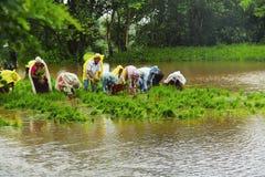 Uomini e donne che lavorano nella risaia, coltivazione della risaia, vicino a Lavasa Fotografie Stock Libere da Diritti