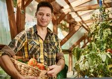 Uomo amichevole che raccoglie i pomodori freschi dal giardino della serra che mette prodotti locali maturi in un canestro Fotografie Stock Libere da Diritti