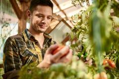 Uomo amichevole che raccoglie i pomodori freschi dal giardino della serra che mette prodotti locali maturi in un canestro Fotografia Stock Libera da Diritti