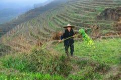 Uomo anziano asiatico, un pastore agricolo dell'agricoltore, fra il terrazzo del riso Fotografie Stock