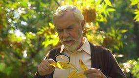 Uomo anziano che studia la foglia di autunno con la lente d'ingrandimento, estratti naturali, longevità archivi video