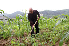 Uomo anziano con una sarchiatura della zappa nel campo di grano Fotografie Stock