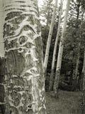 Uomo anziano della foresta Immagine Stock
