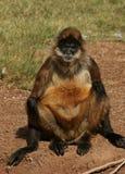Uomo anziano della scimmia Fotografie Stock Libere da Diritti