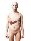 Uomo anziano - fegato Immagini Stock