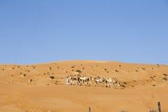 Uomo arabo che cammina con i cammelli nel deserto di Wahiba, Oman Fotografie Stock Libere da Diritti