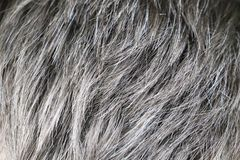 Uomo caucasico bello maturo con capelli grigi immagini stock