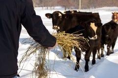 Uomo che alimenta le mucche Fotografia Stock Libera da Diritti