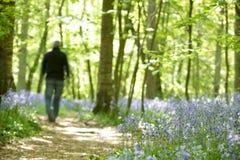 Uomo che cammina attraverso la foresta dei bluebells Fotografia Stock Libera da Diritti