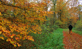 Uomo che cammina da solo nella foresta di autunno Fotografie Stock