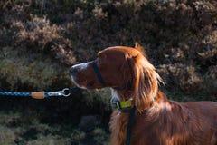 Uomo che cammina il suo cane irlandese dell'incastonatore rosso lungo una passeggiata irlandese di Cliffside nel Donegal fotografie stock libere da diritti