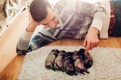 Uomo che conta cinque cuccioli del cane del carlino che dormono sul tappeto a casa Piccolo cuccioli che si trovano insieme sulle  fotografie stock libere da diritti